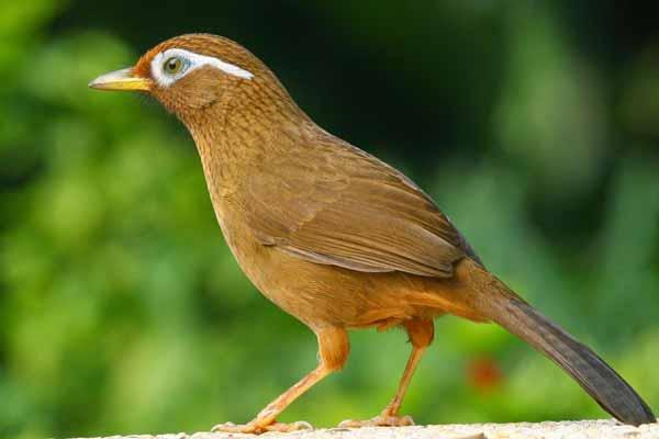 Daftar Jenis Burung Yang Sering Dilombakan Dengan Harga Yang Mahal - Burung Hwa Mei