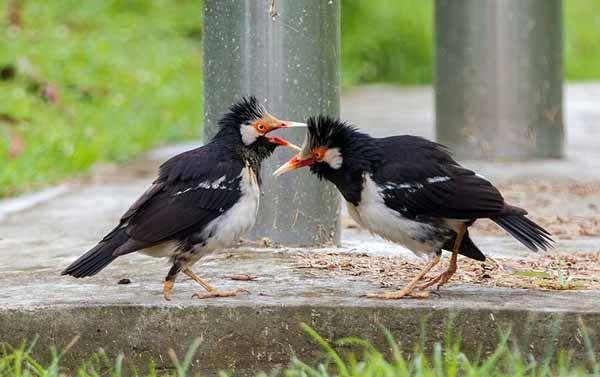 Daftar Jenis Burung Yang Sering Dilombakan Dengan Harga Yang Mahal - Burung Jalak Suren