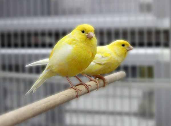 Daftar Jenis Burung Yang Sering Dilombakan Dengan Harga Yang Mahal - Burung Kenari Canary