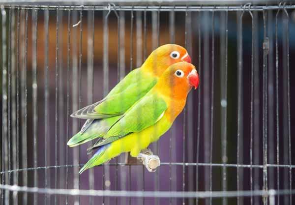 Daftar Jenis Burung Yang Sering Dilombakan Dengan Harga Yang Mahal - Burung Lovebird