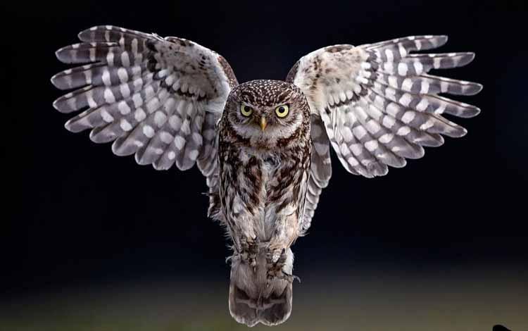 Fakta dan Mitos Burung Hantu - Bulu Burung Hantu