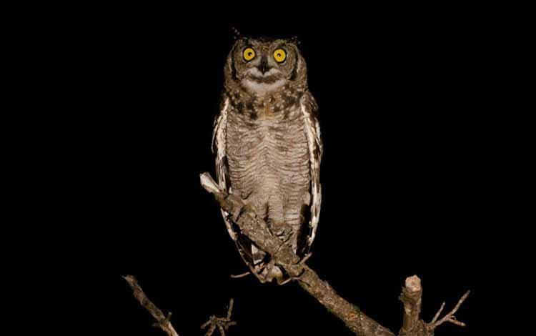 Fakta dan Mitos Burung Hantu - Burung Hantu Jelmaan Roh Orang Meninggal