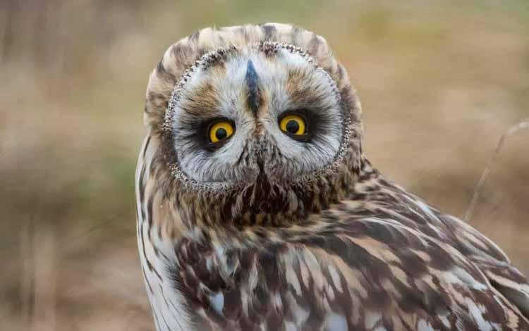 Fakta dan Mitos Burung Hantu - Memutar Kepala Hingga 270 derajat