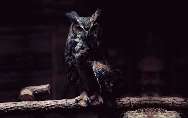 Fakta dan Mitos Burung Hantu - Mencuri Keberkahan