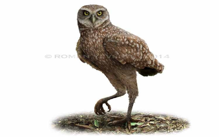 Fakta dan Mitos Burung Hantu - Ornimegalonyx