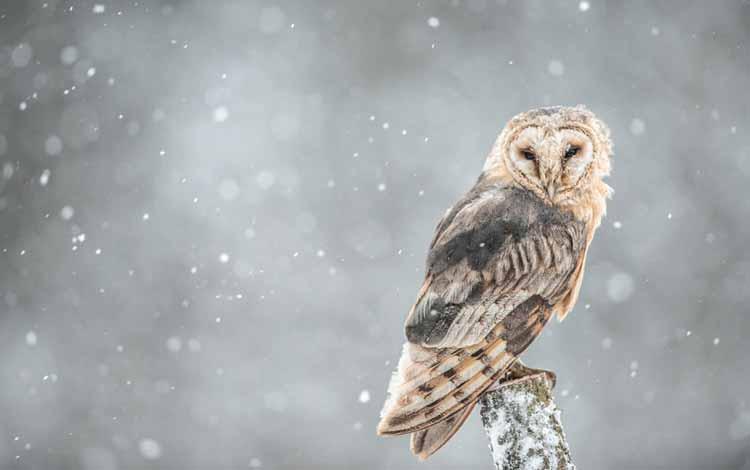 Fakta dan Mitos Burung Hantu - Pertanda Salju Akan Turun