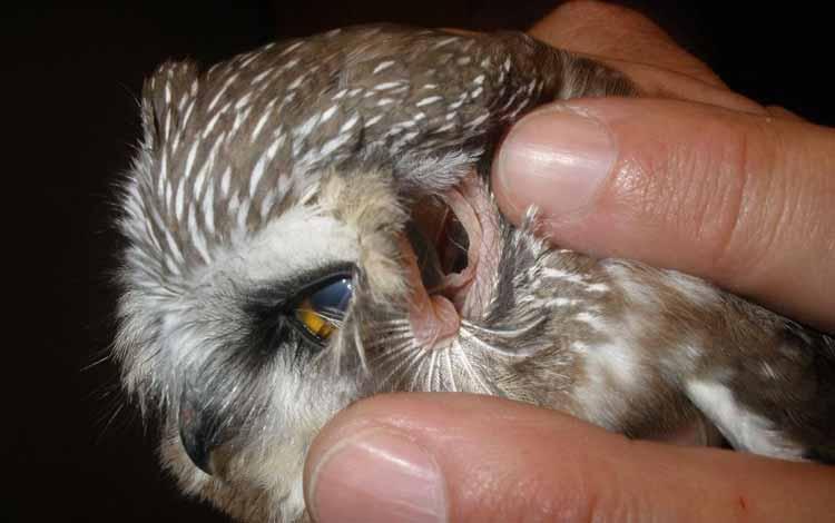 Fakta Seputar Burung Hantu Beserta Mitos Yang Menyertainya Blog Unik