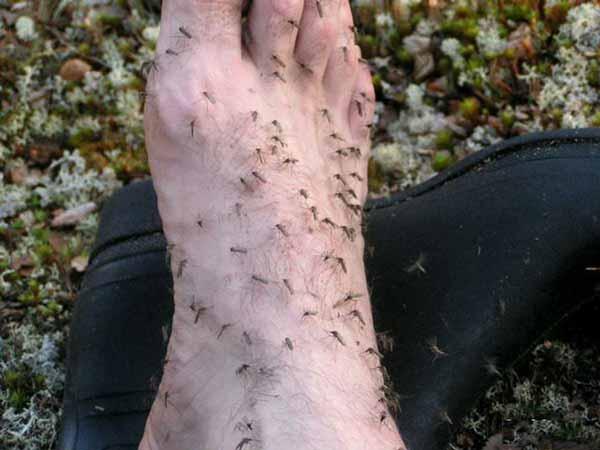 Fungsi-dan-manfaat-Nyamuk-Dalam-Siklus-Kehidupan-sebagai-pendeteksi-adanya-gangguan-kesehatan