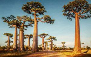 Aneka Tumbuhan Paling Langka Di Dunia Yang Menakjubkan - Pohon Baobab