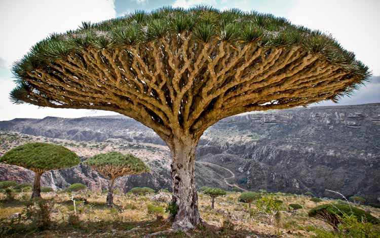Aneka Tumbuhan Paling Langka Di Dunia Yang Menakjubkan - Pohon Darah Naga
