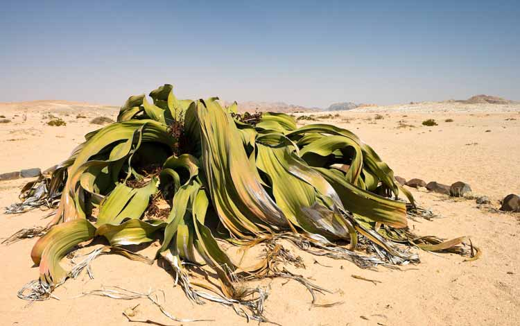 Aneka Tumbuhan Paling Langka Di Dunia Yang Menakjubkan - Welwitschia Mirabilis