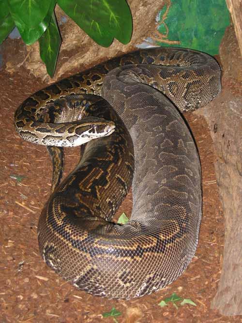 Daftar Ular Terbesar Di Dunia - African Rock Python