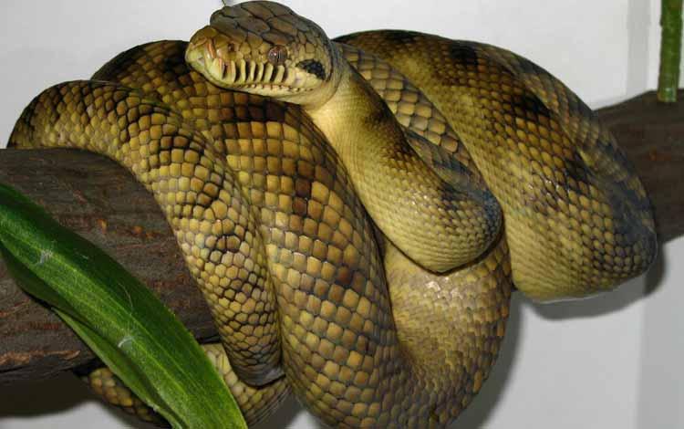 Daftar Ular Terbesar Di Dunia - Amethystine Python