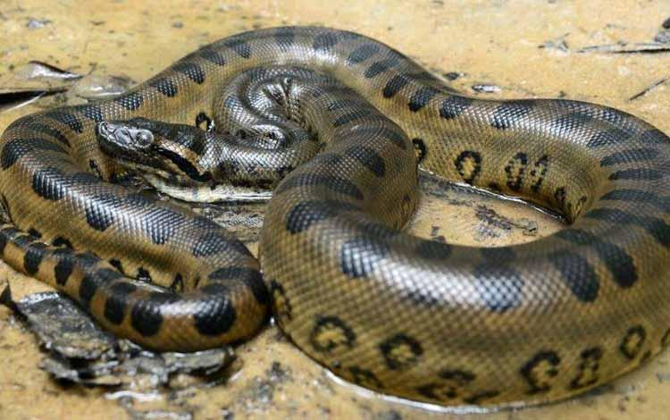 Daftar Ular Terbesar Di Dunia - Anaconda Hijau