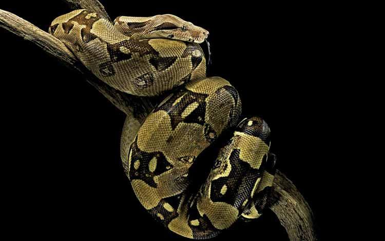 Daftar Ular Terbesar Di Dunia - Boa Constrictor