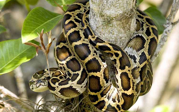 Daftar Ular Terbesar Di Dunia - Burmese python