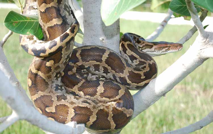 Daftar Ular Terbesar Di Dunia - Indian Python