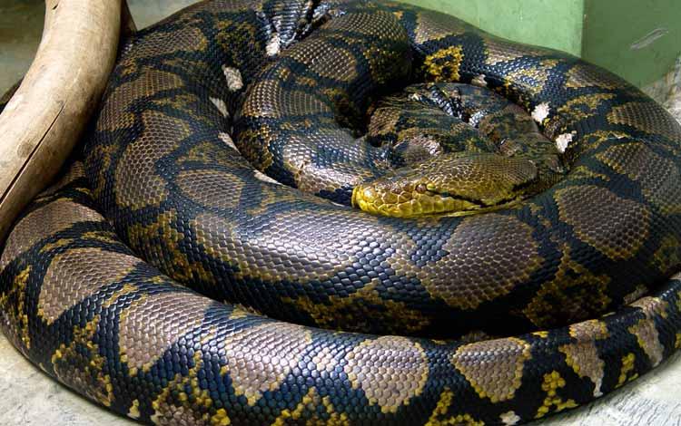 Daftar Ular Terbesar Di Dunia - Reticulated Python