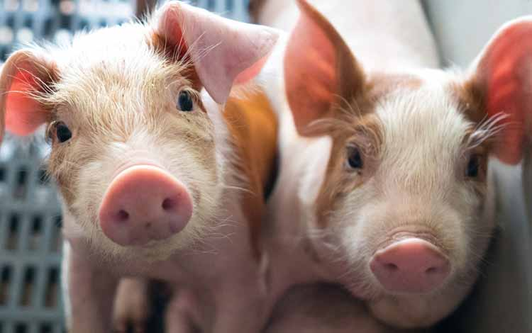 Deretan Hewan Dengan Tingkat Kecerdasan Cukup Tinggi - Babi