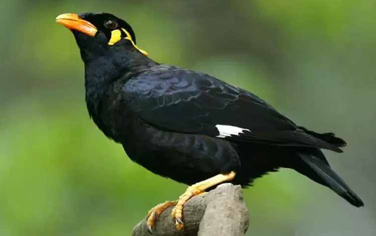 Deretan Hewan Dengan Tingkat Kecerdasan Cukup Tinggi - Burung Beo