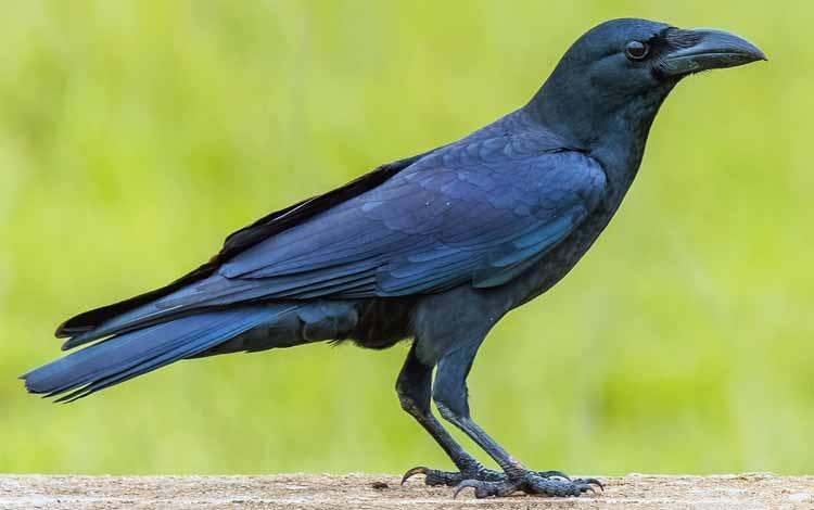 Deretan Hewan Dengan Tingkat Kecerdasan Cukup Tinggi - Burung Gagak