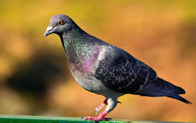 Deretan Hewan Dengan Tingkat Kecerdasan Cukup Tinggi - Burung Merpati