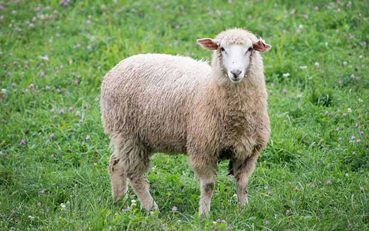 Deretan Hewan Dengan Tingkat Kecerdasan Cukup Tinggi - Domba