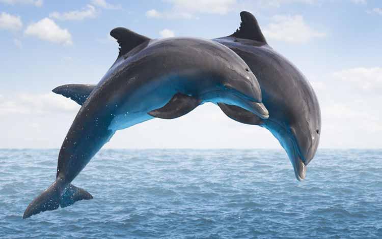 Deretan Hewan Dengan Tingkat Kecerdasan Cukup Tinggi - Lumba-lumba
