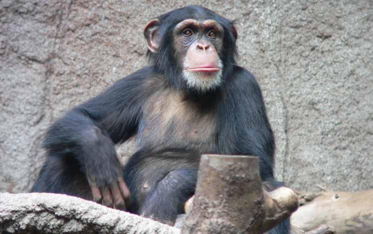 Deretan Hewan Dengan Tingkat Kecerdasan Cukup Tinggi - Simpanse