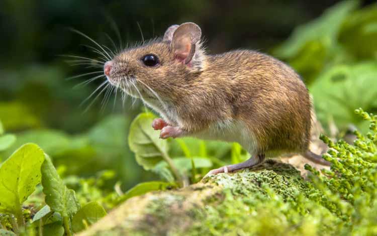 Deretan Hewan Dengan Tingkat Kecerdasan Cukup Tinggi - Tikus
