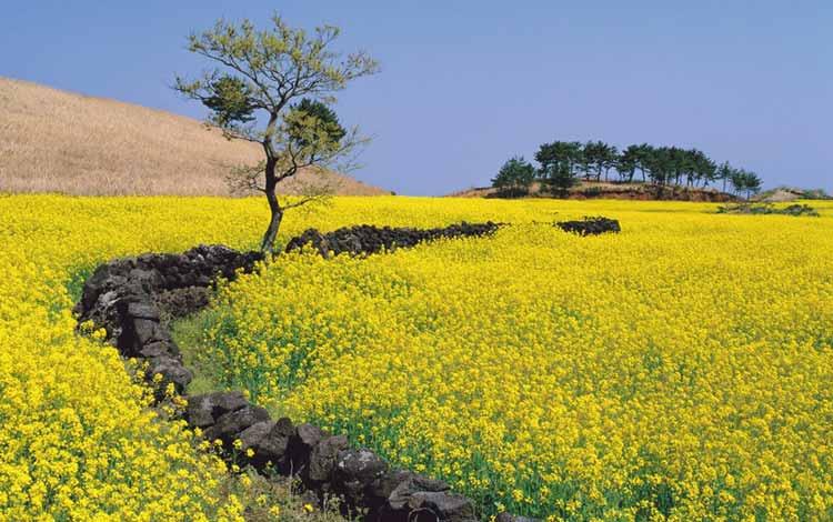 Wisata Di Korea Selatan Terpopuler - Canola Jeju-do