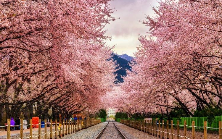 Tempat wisata terpopuler di Korea Selatan - Jinhae