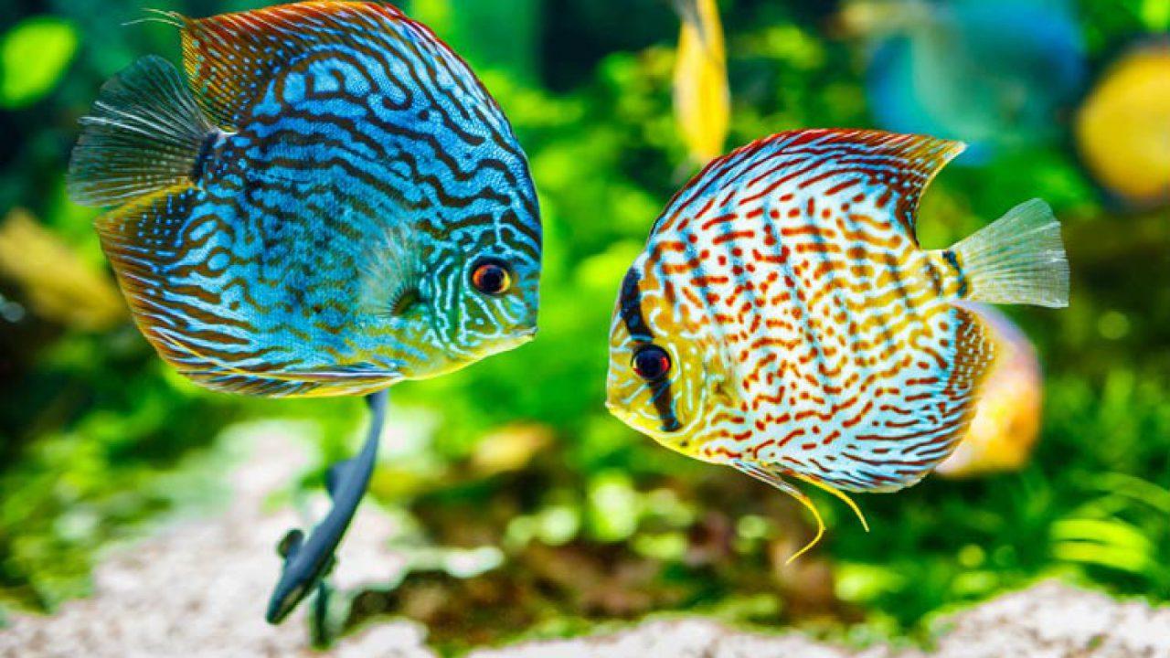 Aneka Jenis Ikan Hias Air Tawar Terindah Beserta Harganya Blog Unik