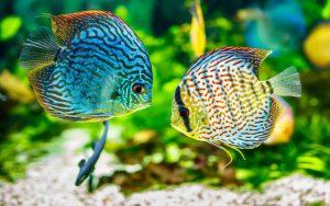 Jenis Ikan Hias Air Tawar Terindah Dan Harganya - Ikan Discus