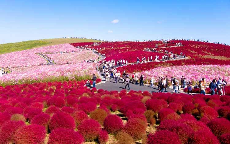 Wisata Terfavorit Di Jepang - Hitachi Seaside Park, Kochia