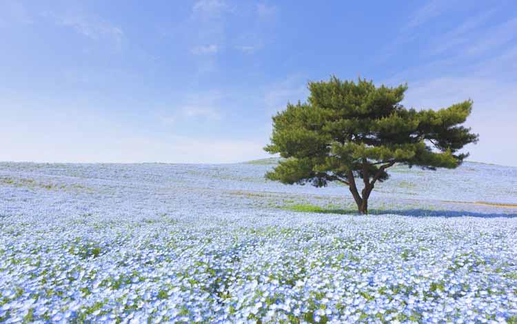 Wisata Terfavorit Di Jepang - Hitachi Seaside Park