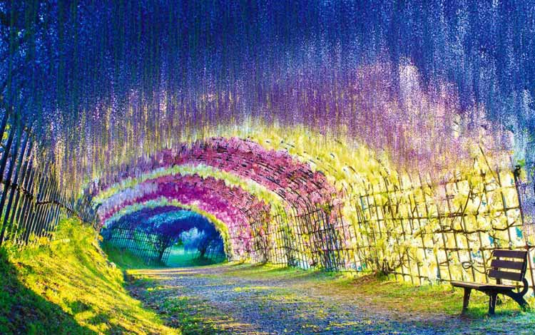 Wisata Terfavorit Di Jepang - Wisteria Tunnel