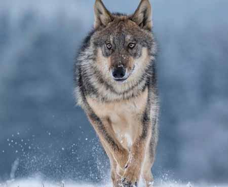 15-Peringkat-Hewan-Pembunuh-Manusia-Terbanyak-Didunia-serigala