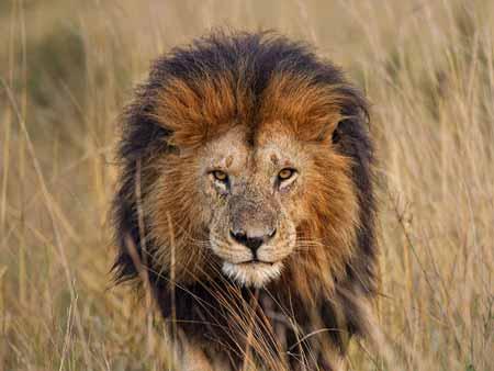 15-Peringkat-Hewan-Pembunuh-Manusia-Terbanyak-Didunia-singa