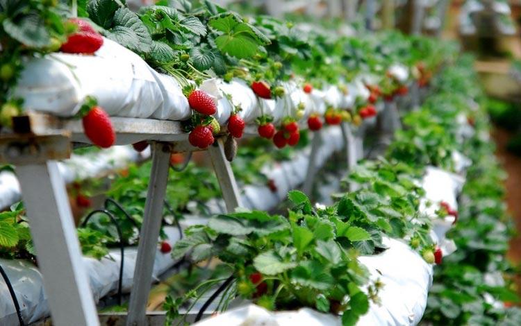 Tempat Wisata Terpopuler Di Solo - Kebun Strawberry Karanganyar