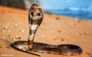 Tips-Agar-Rumah-Aman-Dan-Terhindar-Dari-Teror-Ular-Kobra