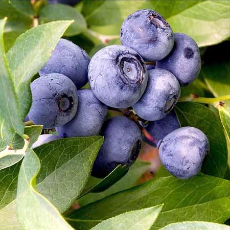 Berbgai-Jenis-Buah-Berry-Beserta-Manfaatnya-Bilbery