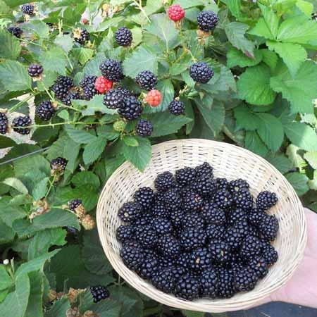 Berbgai-Jenis-Buah-Berry-Beserta-Manfaatnya-Blackberry