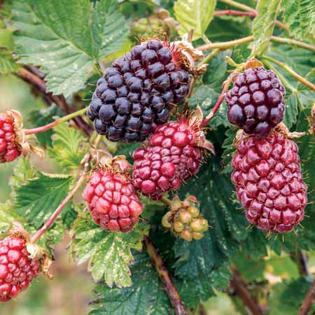 Berbgai-Jenis-Buah-Berry-Beserta-Manfaatnya-Boysenberry