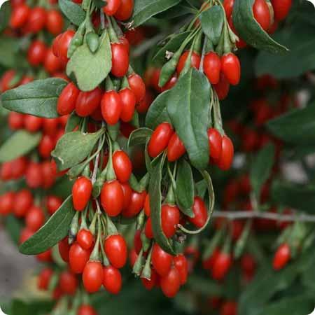 Berbgai-Jenis-Buah-Berry-Beserta-Manfaatnya-Goji-Berry