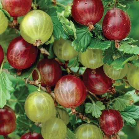 Berbgai-Jenis-Buah-Berry-Beserta-Manfaatnya-Gooseberry