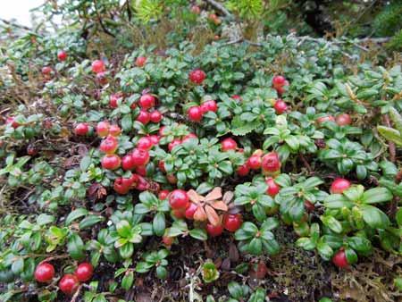 Berbgai-Jenis-Buah-Berry-Beserta-Manfaatnya-Lingonberry
