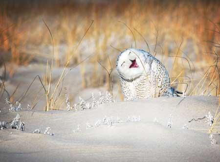 Deretan Ekpresi Lucu Binatang Yang Tertangkap Kamera - Burung Hantu Kutub