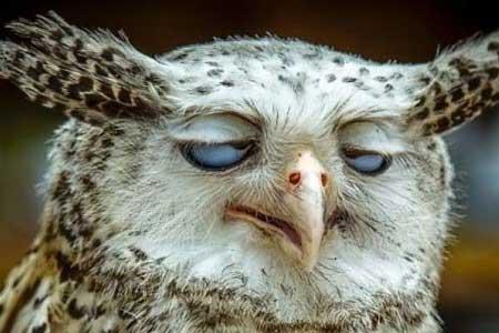 Deretan Ekpresi Lucu Binatang Yang Tertangkap Kamera - Burung Hantu