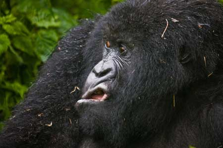 Deretan Ekpresi Lucu Binatang Yang Tertangkap Kamera - Ekpresi Lucu Gorilla